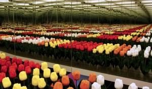 Het Amsterdams Tulpen Museum is ontworpen als een continue flow van ruimtes, waarin de verschillende aspecten van de Nederlandse geschiedenis van de tulp worden belicht. Elke museumzaal is ingericht met een eigen stijl en sfeer. De spiegelkamer moet de eindeloze tulpenvelden verbeelden.