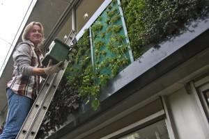 Vogelbescherming Nederland, een van de natuurorganisaties die deelneemt aan de coalitie Natuurlijke Klimaatbuffers, heeft haar eigen pand in Zeist voorzien van groene gevelbeplanting. Foto: Mobilane