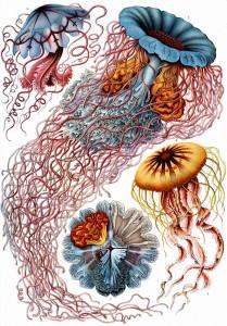 Haeckel Dicomedusae