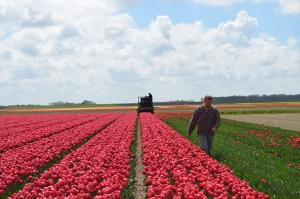 Tjeerd Veenhoven: tulpen oogsten in Anna Paulowna voor Tulip Pigment