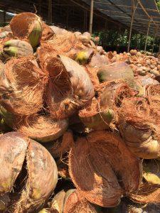 Alleen al in Indonesië verbranden boeren jaarlijks het restafval van zestien miljard geoogste kokosnoten